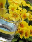 Glass of water and primrose - detail — Stock Photo