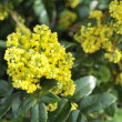 Mahonia blossom - Stock Photo