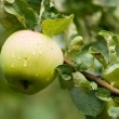 Fresh apple after rain — Stock Photo #2314938