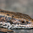 Smilling lizard — Stock Photo