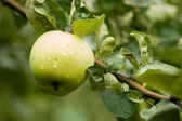 Fresh apple after rain — Stock Photo