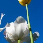 Tulips in sky — Stock Photo #2580081