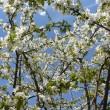 Cherry tree — Stock Photo #2369113