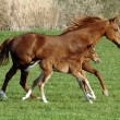 Horse with foal - Stock Photo
