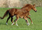 Horse with foal — Stock Photo