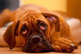 Pugilista alemão - cachorrinho triste — Fotografia Stock