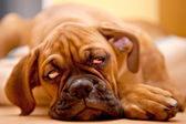 German Boxer - puppy dog with hangover — Stock Photo