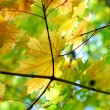 Stock Photo: Autumn fall maple leaves