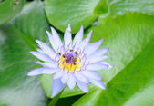 Beautiful blue water lily — Stock Photo
