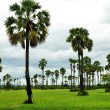 Ricefield and palms — Stock Photo
