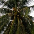 Palm tree coconuts — Stock Photo