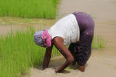 A woman working in a rice plantation — Stock Photo