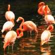 Stock Photo: Flock of pink flamingo