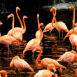 The flock of pink flamingo - Stock Photo