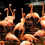 The flock of pink flamingo — Stock Photo