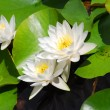 Stock Photo: Water lily (lotus)