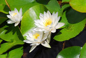 Water lily (lotus) — Stockfoto