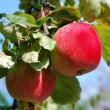 Apple tree — Stock Photo #2307422