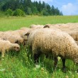 Stock Photo: Sheeps on the pasture