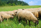 Sheeps on the pasture — Stock Photo