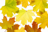 Otoño hojas de arce — Foto de Stock