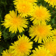 Dandelion medow - Stock Photo
