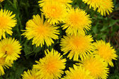 Dandelion medow — Stock Photo