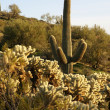 Stock Photo: Cacti in in Arizona