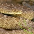 occidentale diamondback rattlesnake — Foto Stock