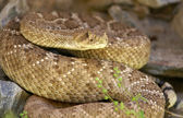 Western Diamondback Rattlesnake — Stock Photo
