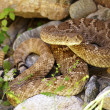 Westerse diamondback ratelslang — Stockfoto #2316354