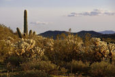Cacti in in Arizona — Stock Photo
