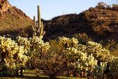 Cacti in in Arizona — Stock Photo