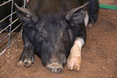 Black pig face — Stock Photo