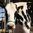 Stock Photo: Portrait of exhibition cow