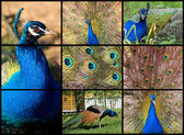 Peacock. Collage — Stock Photo