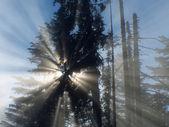 Sun beans, going through pine and mist — Stock Photo