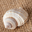 Stock Photo: Shell laing on jute