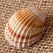 Shell laing on jute — Stock Photo #2276319