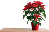 Poinsettia — Stock Photo