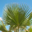 Palm tree — Stock Photo #2290377
