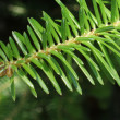 Stock Photo: Spruce branch