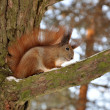 Squirrel on the branch — Stock Photo