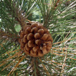 Pine-cone — Stock Photo