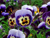 A violet — Stock Photo