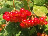 ягоды калины — Стоковое фото