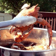 Crab - cooked blue crabs in pot 08 2 - Stock Photo