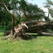Stock Photo: Storm damage - tree down 4