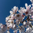 Cherry blossoms of Wash., DC — Foto de Stock