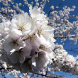 Stock Photo: Cherry blossoms of Wash., DC
